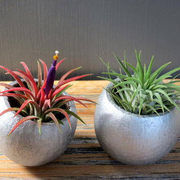 Silver Holiday Tillandsia Air Plant Duo: Two Unique Air Plants in Natural Silver Shimmer Containers / Holiday Gift Idea!