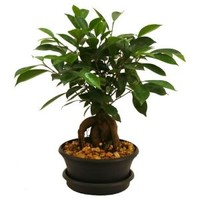 Delray Plants, Ficus Bonsai in 6 in. Plastic Pot, 6BONSAIBOWLFICUS at The Home Depot - Mobile