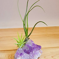 "Bliss Gardens Purple Amethyst Crystal Quartz 3-4"" with 2 Air Plant Tillandsia / Healing Garden / Terrariums / Great Gift / Paper Weight"