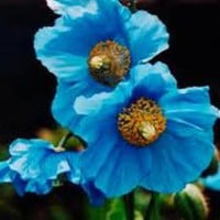 Rare Blue Poppy, Himalayan, Flowering Seed, Must See, Cheapseeds