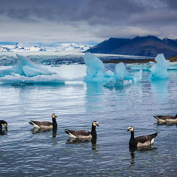 Barnacle Geese In Glacier Lagoon In Iceland