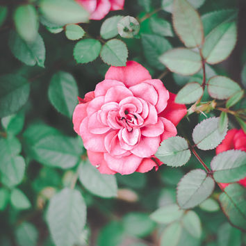 Rose Print, floral, fine Art , Pink, Garden , Nature , Macro , Flower , Roses , Rhode Island, nursery, wall art, decor, Mothers Day, Elegant