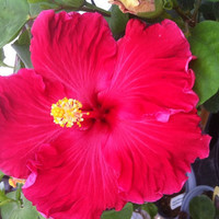 "Cajun Hibiscus ""Love Song""- 1 gallon"