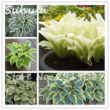 50pcs Beautiful Perennial Hosta Seeds Fire And Ice Shade White Lace Ground Cover Plant Attractive Light Up Your Garden yy