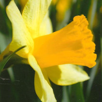 Yellow Spring Daffodil on Blank Photo Note Card Flower Photography