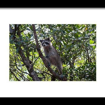 Raccoon - Framed Print