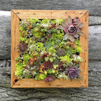Succulent Vertical Living Wall Art Kit 12 inch Buy by sosucculent