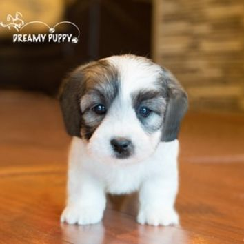 Buy a Teddy Bear puppy , from Dreamy Puppy available only at DreamyPuppy.com Place a $200.00 deposit online!
