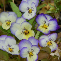 Heirloom 300 Flower Seeds Viola Tricolor F1 Johnny Jump Up Blueberry Cream Garden Flower S9120