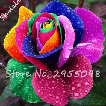 Flower Pots Planters 50 Seed Rare Holland Rainbow Rose Seed Flowers Lover Colorful Home Garden Plants Rare Rainbow Flower Seeds