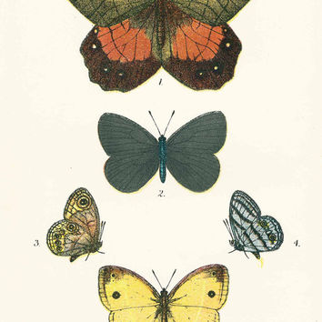 19th Century Colour Print,  Picture of Butterflies,  Antique Print, Paper Ephemera, Butterfly Print