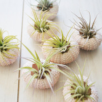 Pink Sea Urchin and Air Plant Duo by toHOLD on Etsy
