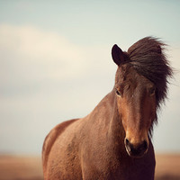 Chestnut Brown Icelandic Horse,  Nature Photography, Nursery Art, Spring, Scandinavian, Nordic, Brown, Blue   - Dalla's Glance