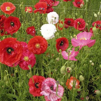 Poppy Shirley Mix Flower Seeds (Papaver Rhoeas) 200+Seeds