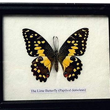 Insectfarm Framed Real Lime Butterfly Taxidermy and Insect Gift or Collection