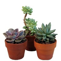 "Desert Rose Collection - Echeveria - 3 Plants in 3"" Clay Pots - Walmart.com"