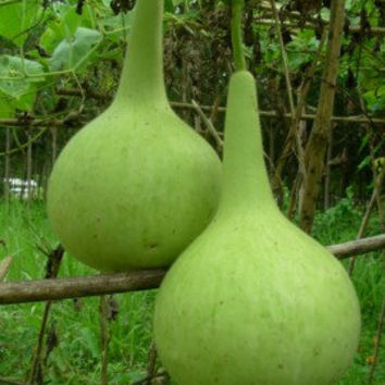 thai bottle gourd seeds round shaped, heirloom vegetable seeds
