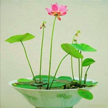 Hydroponic flowers small water lily seeds mini lotus seeds bonsai seeds set hydrophyte - 12 pcs seeds