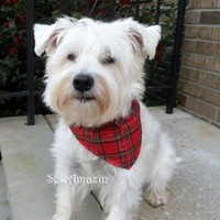Classic Red Tartan Plaid Bandana Collar Slipcover