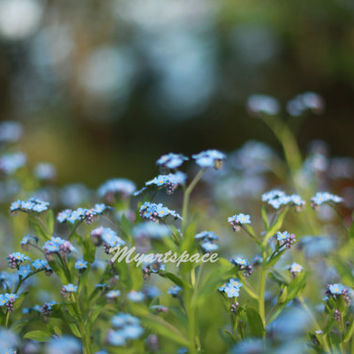 Soft blue flower field, blue Flowers, Blossom, Forget me Not,  Spring macro print, Nature, Fine art photography