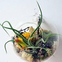 Air Plant Terrarium - Hanging Glass Orb - reindeer moss - dried flowers - Home and Garden -  Green Gift
