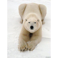 Playful Polar Bear poster Metal Sign Wall Art 8in x 12in
