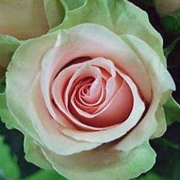 Dancing Queen Rose (10 Seeds)