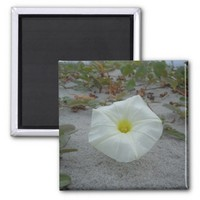 White Morning Glory on the Beach 2 Inch Square Magnet