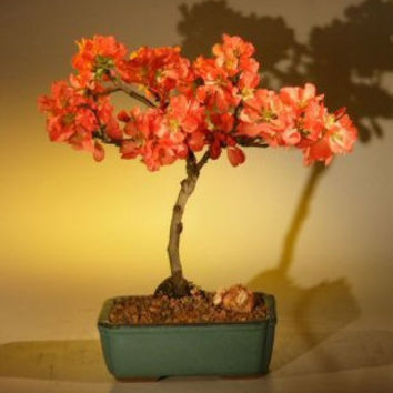 Japanese Flowering Quince Bonsai Tree - Super Red(chaenomeles japonica 'moned')