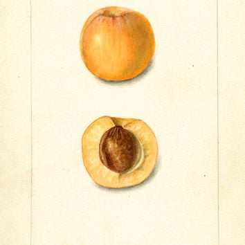 Japanese Apricot, Early Golden (1902)