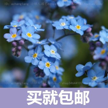 Forget-me- flower seed free shipping flowers potted plants easy to plant flowers sowing seasons indoor balcony meaty 10 seeds