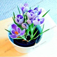 100pcs/bag saffron seeds crocus seed bonsai plants flower seeds for home garden supplies easy grow