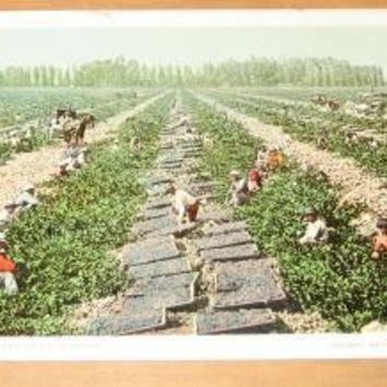 Vintage Drying Raisin Grapes In California Postcard