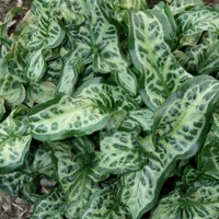 Arum italicum 'Scottish Silver', Lords and Ladies, Arum Scottish Silver, buy Arum Scottish Silver for sale, buy Lords and Ladies for sale