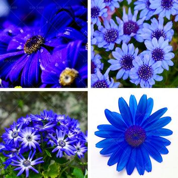 40pcs Blue Daisy , Blue Cineraria easiest growing flower, hardy plants flower seeds exotic ornamental flowers Free Shipping