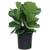 Costa Farms Ficus Pandurata Bush in 8.75 in. Grower Pot-10PAN - The Home Depot