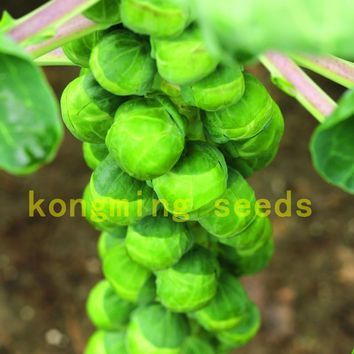 200 Cabbage Seeds Brussels Machuga Organic Heirloom Vegetable Seeds for home garden plant Little Baby Cabbages Seeds