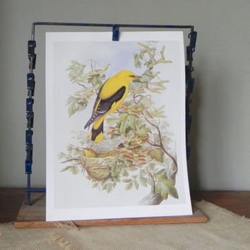Vintage book plate print of yellow thrush male and female on tree with nest