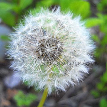 Digital Photograph Nature Dandelion Fluff  Instant Download Free Shipping