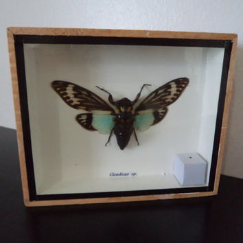 Real Cicadicea sp Moth Asian Moth Boxed Insect Display Taxidermy Entomology