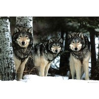 Wolves (Three Wolves in Snow) Art Poster Print - 24x36 Poster Print, 36x24 Collections Poster Print, 36x24