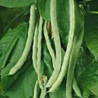 The Dirty Gardener Romano Pole Bean Seeds
