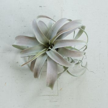 Extra Large Grey Air Plants | Set of 6