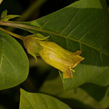 40 seeds Atropa komarovii, Turkmenistan belladonna, belladonna, the Central Asian witch is at your door ...