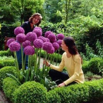50 seeds Purple Giant Allium Giganteum Beautiful Flower Seeds Garden Plant the budding rate 95% rare flower for kid
