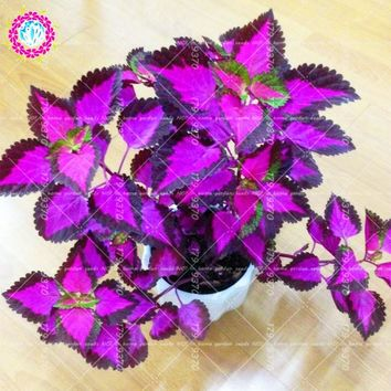200pcs Bonsai Coleus Plectranthus scutellarioides  perennial beautiful flower plants for home garden planting potted plants
