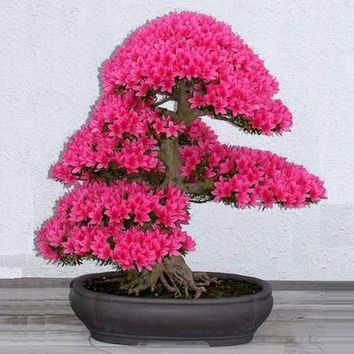 Bonsai Tree japanese sakura seeds 5pcs ,bonsai flower Cherry Blossoms