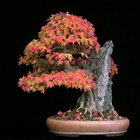 Bonsai Trident Maple, Seeds, Grow Your Own, 5 Seeds