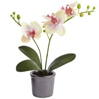 Potted Phalaenopsis Orchid - Yellow