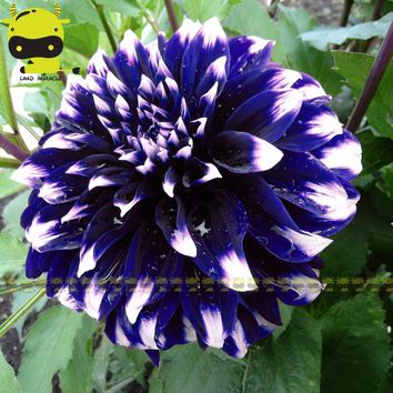 BLUE Beard Dahlia Flower Seeds (RARE) Exotic - 50 FRESH SEEDS - Zinnia elegans - ENVY DOUBLE FLOWER for HOME & GARDEN PLANT
